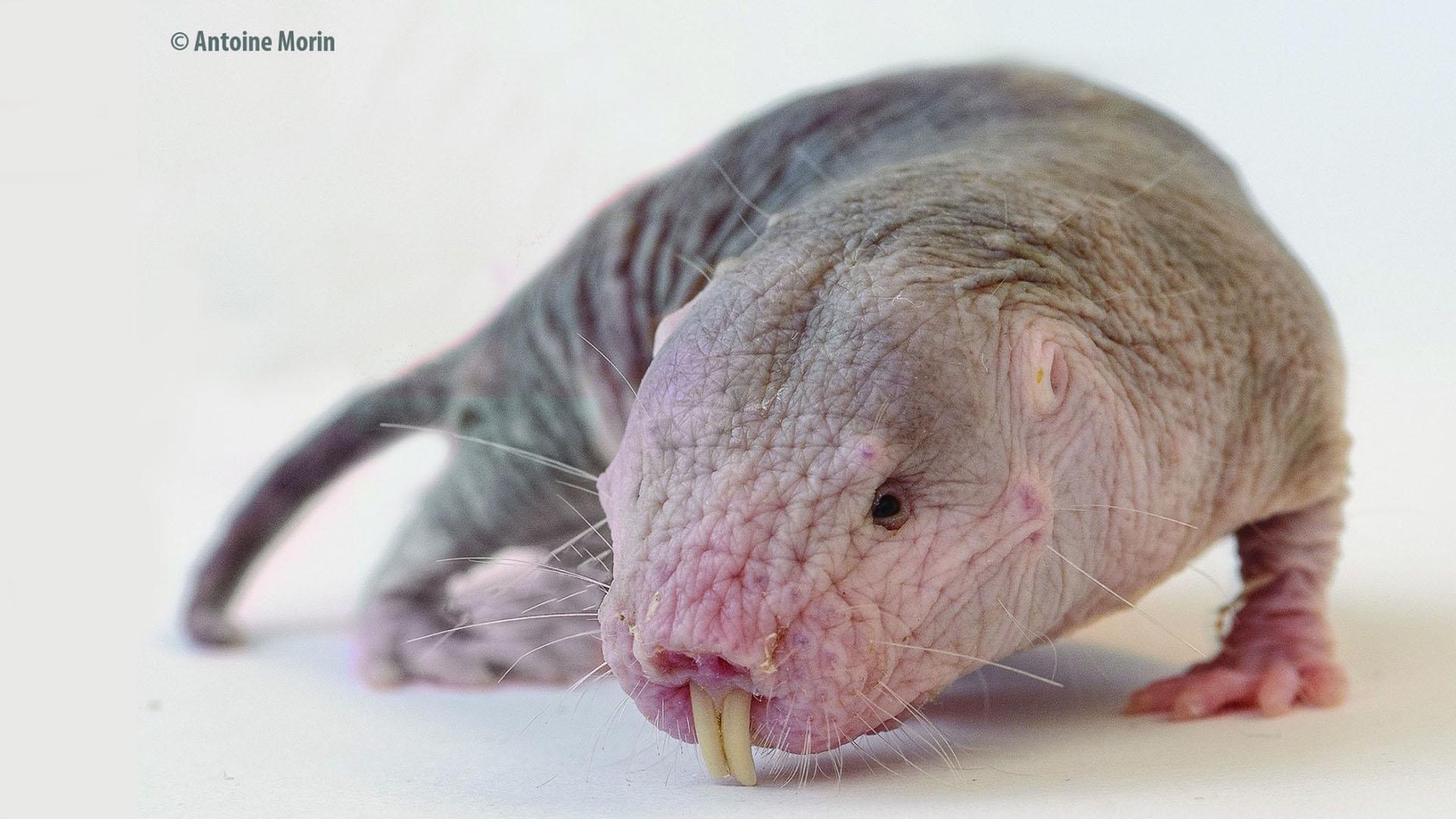 Naked mole rat | Rat-taupe nu